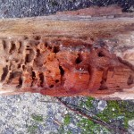 Poškozené dřevo od mravenců